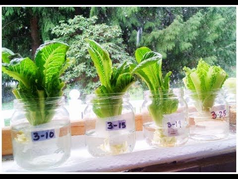 Regrow Bok Choy: http://youtu.be/eg4feZei3lg How to regrow romaine lettuce! How to grow lettuce. Join us on Face Book! https://www.facebook.com/learntogrowmi...
