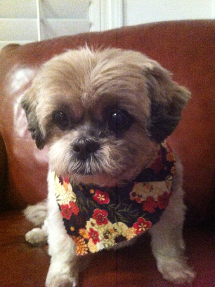 Keiko!!! Short haircut- shih tzu | My dogs | Pinterest ...
