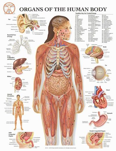 Anatomy Of The Human Body | Anatomy Picture Reference and Health News
