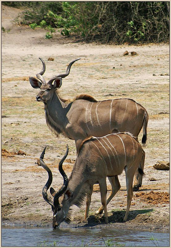 """""""Kudu are particularly common in the well-wooded areas of Chobe, the Kwando–Linyanti area and the Okavango, though they also occur throughout the drier areas of the Kalahari. They are browsers that thrive in areas with mixed tree savannah and thickets, and the males will sometimes use their horns to pull down the lower branches of trees to eat."""""""