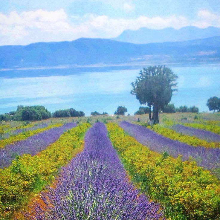 Burdur Gölü Lavanta gül Türkiye fotoğraf Öztürk Sarıca