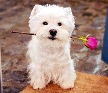 Sweet Westie: West Highlanders Terriers, Animal Pictures, Mothers Day, Storage Boxes, Dogs Day, Valentines Day, Happy Dogs, Day Quotes, Cute Dogs