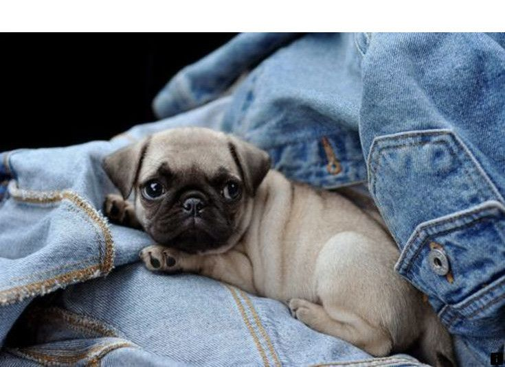 Find Out About Buy A Pug Follow The Link For More The Web