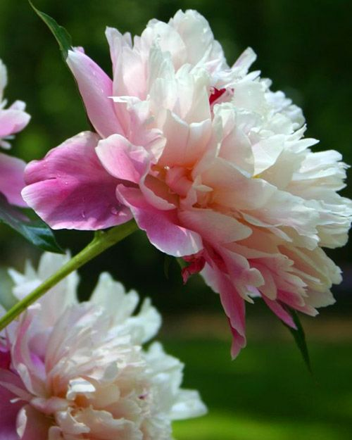 Peonies 101 - Martha Stewart, My Grandma in Indiana grew these , Such a pretty flower.love this flower