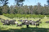 Harvey Fresh Free Range Cows, Western Australia #harveyfresh #freerange