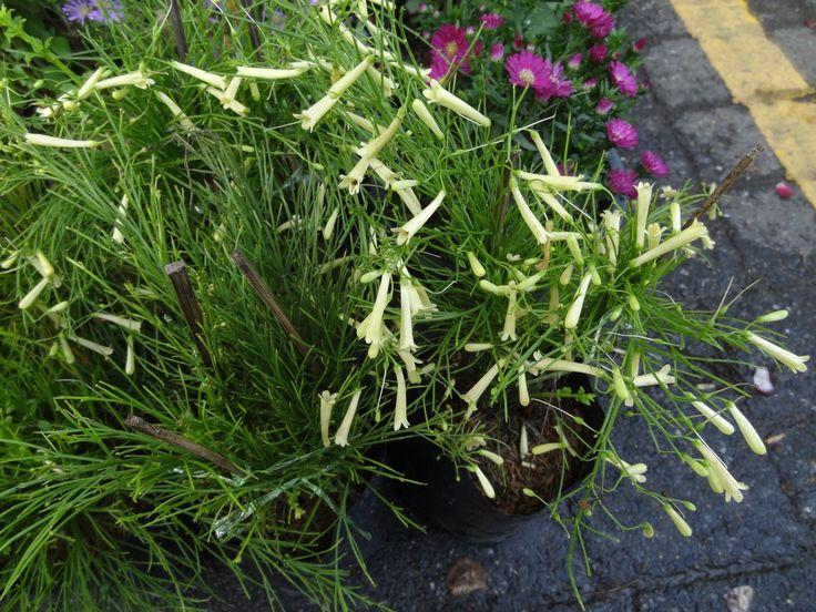 ประทัดจีน, ประทัดฝรั่ง, Fountain Plant, Firecracker plant ดอกสีขาว ชื่อพฤกษศาสตร์ : Russelia equisetiformis Schltdl. & Cham. ชื่อพ้อง : Russelia juncea Zucc. วงศ์ : SCROPHULARIACEAE (วงศ์มณเฑียรทอง) 2 September 2015 ตลาดนัดต้นไม้สวนจตุจักร