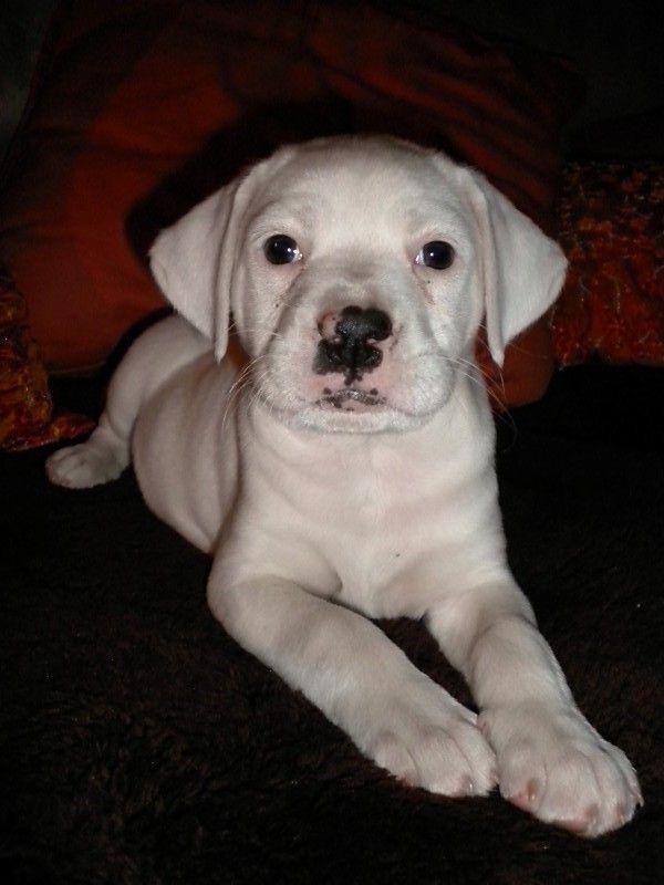 White Bulldog Boxer Mix Puppies Pictures Animals