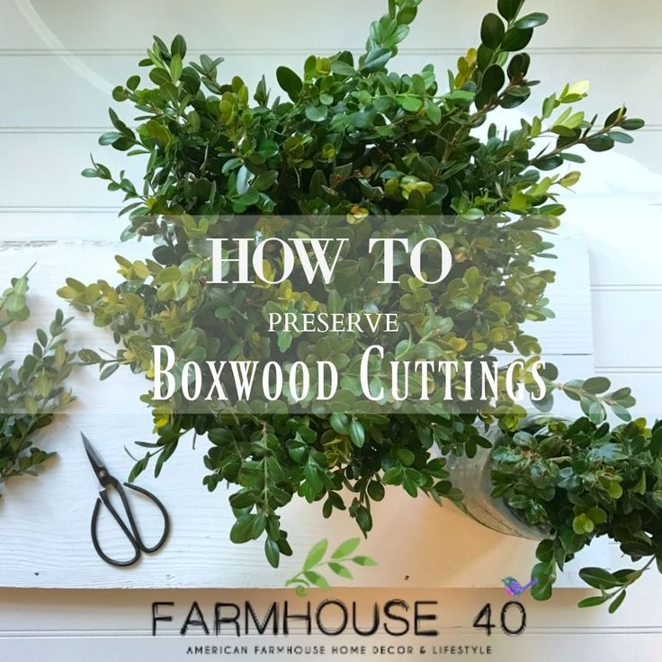 boxwood preserving steps