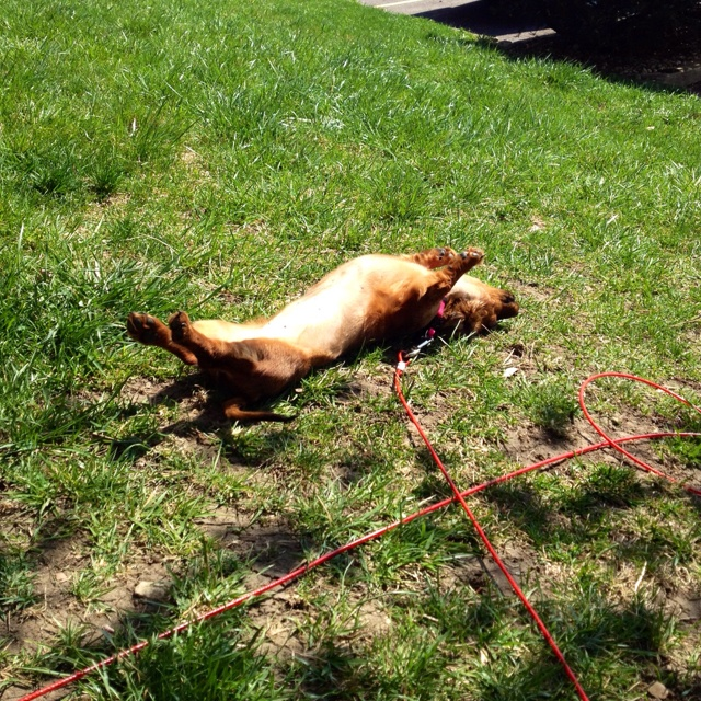 Daschund Sunbathing!!Doxie Sunbathing, Doxie Life, Dogs Breeds, Pets Puppies, Doxie Dogs, Dogs Pets, Daschund Sunbathing, Fur Baby, Furries Friends