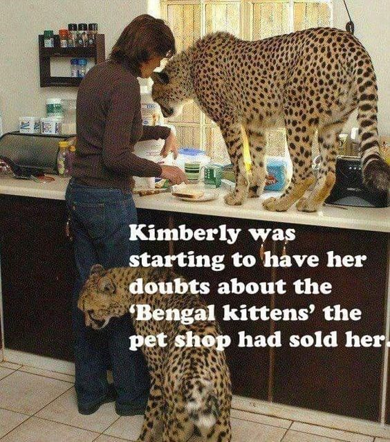 Pin by Josie Okuly on Animals in 2020 Bengal kitten