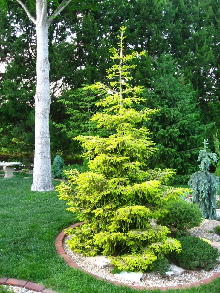 Picea Orientalis Skylands Garden Mine Evergreen