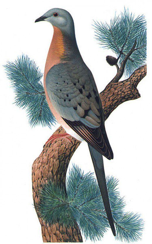 An artist's interpretation of the Passenger Pigeon, published around 1923. The passenger pigeon is a now-extinct type of bird that once lived in enormous flocks, second in size only to the Rocky Mountain Locust. It is hypothesised that the bird once flew in flocks of 3.5 billion birds! Despite its amazing size, the animal was slowly and systematically made extinct when Europeans first landed in North America. European settlement led to mass deforestation, and pigeon meat became a cheap food…