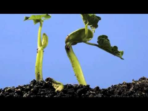 This week I have featured some articles related to growing plants and seed germination. We looked at how to grow beans in a clear plastic cup so students can seen them germinate. A second demonstration showed how even when the cup is turned, the roots continue to grow down.    This bean germination video would be a perfect accompaniment to these demonstrations. It is is a beautiful example of the wonder of science.