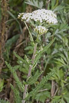 The dark blue essential oil, extracted by steam distillation of the flowers, is generally used as an anti-inflammatory or in chest rubs for colds and influenza.  The leaves encourage clotting, so it can be used fresh for nosebleeds.  Yarrow intensifies the medicinal action of other herbs taken with it, and helps eliminate toxins from the body[