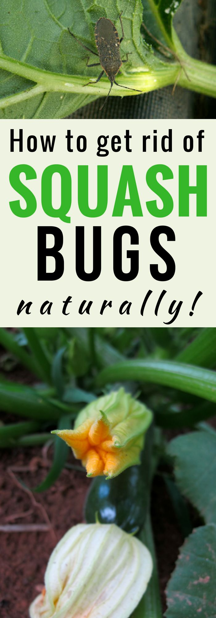 Squash bugs can be devastating to the home garden. Learn how to get rid of squash bugs naturally with 6 easy tips and take back your garden!