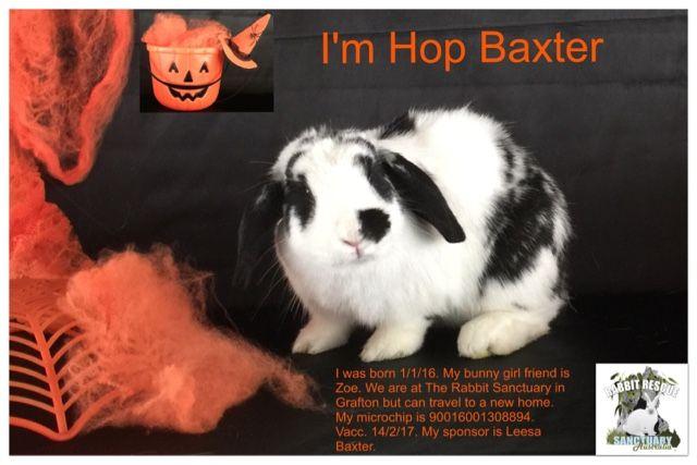 Black and White Mini Lop Boy Rabbit for Adoption