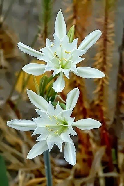 Pancratium Maritimum L. •• Sea Daffodil