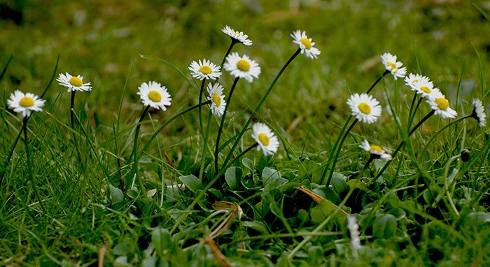 En août 2009 les fleurs sauvages étaient déjà à l'honneur sur mon blog. Une continuité éditoriale qui a du sens et qui a sans doute donné naissance à l'évènement photographique #flowerpower2015. marguerites blanches sauvages @bernieshoot Pourquoi chercher...