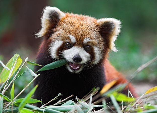 Cute Red Panda | Fuzzbutts | Pinterest