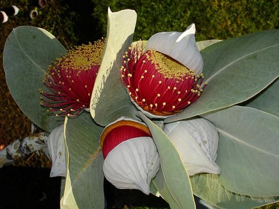 Mottlecah Gum, Eucalyptus macrocarpa