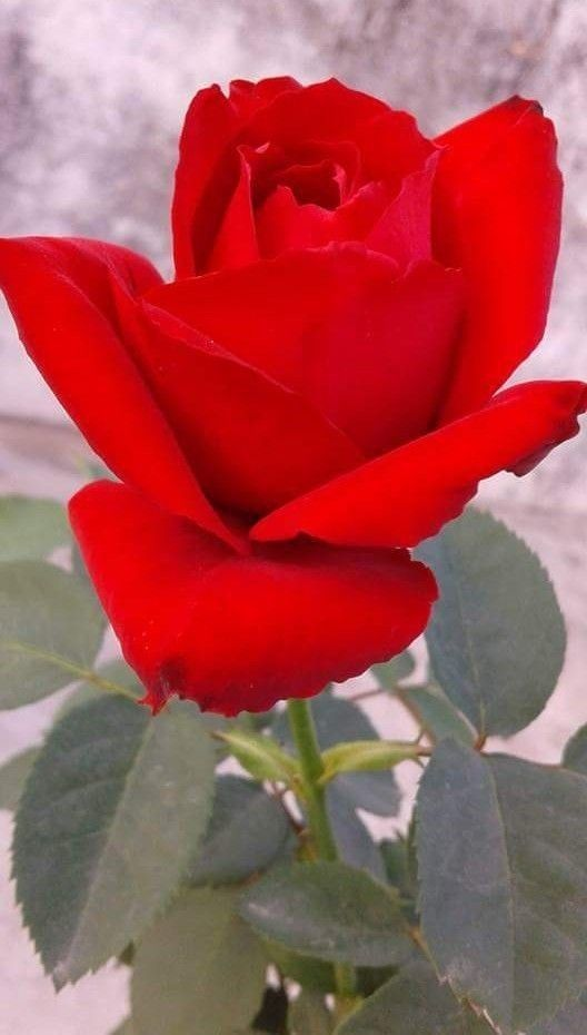 b300f39f1f67 Only for YOU my love | Flowers | Flowers, Beautiful red roses, Beautiful  roses