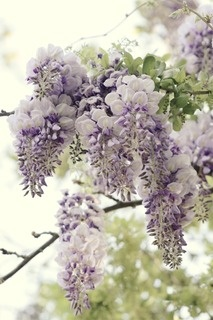 wisteria~love this white with purple color