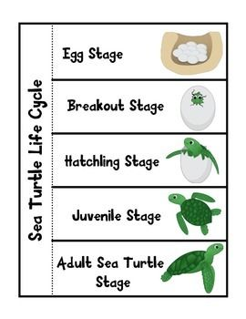 Sea Turtle Life Cycle                                                                                                                                                      More