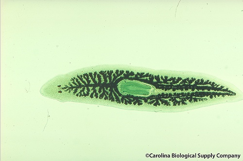 CIRM Stem Cell Research Updates: Stem cell research in a lowly worm could disarm an infectious parasite