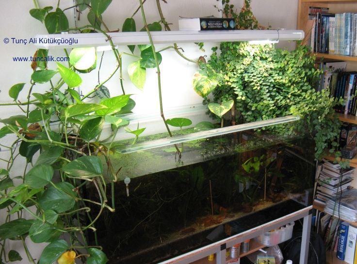 Epipremnum pinnatum ficus pumila plantae pinterest for Fish tank with plants on top