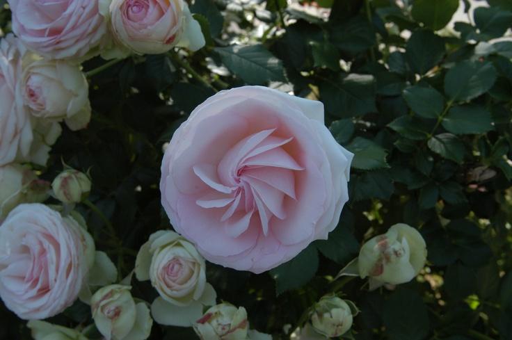 openning rose