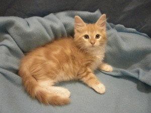 I found Henry on Cats, Maine coon kittens and Maine coon