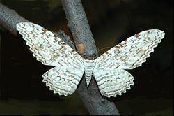 Thysania agrippina,  mariposa de alas de pájaro, diablo blanco, mariposa fantasma, de hasta 30cm