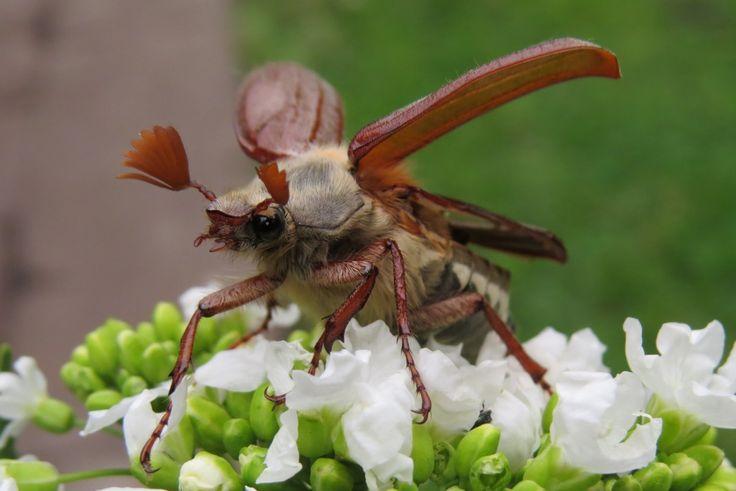 Хрущ майский западный или майский жук западный (Melolontha melolontha)