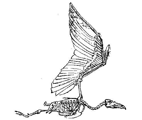 Bird Skeleton Designed For Flight