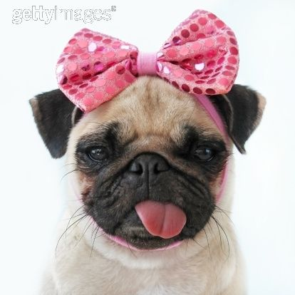 Fueling my Pug obsession.