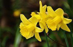 March Birth Flower: Daffodil