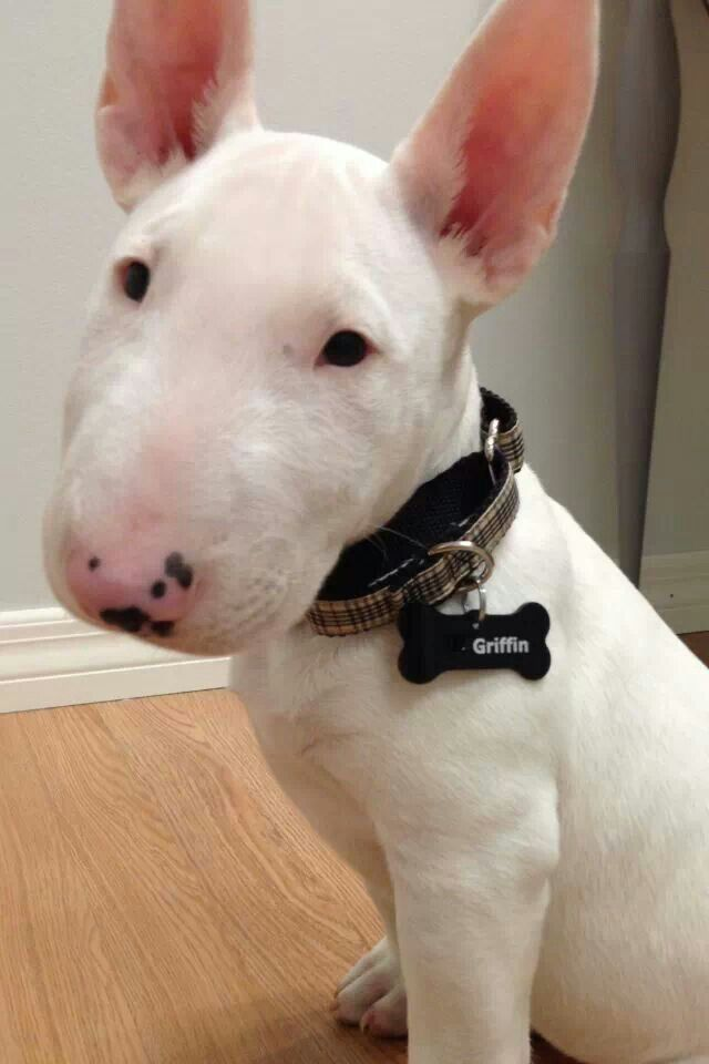 English Bull Terrier Baby Clothes