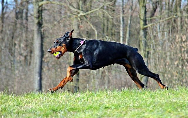 10 Dog Breeds That Make The Best Guard Dogs   Dogs Breeds