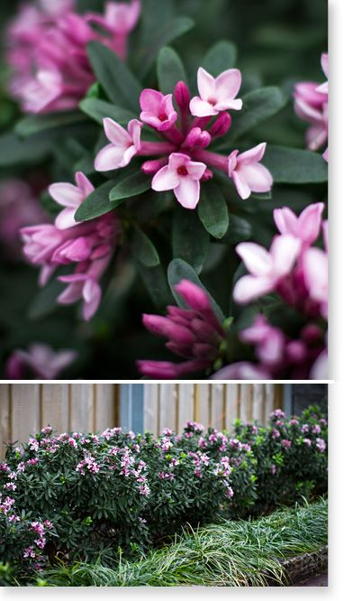 """Plants Management Australia Pty Ltd.Daphne """"Spring Pink Eternal Fragrance"""",frost hardy and both heat and dry tolerant.Performs in sunny sites without scorching.Tolerant of both alkaline and acid soils."""