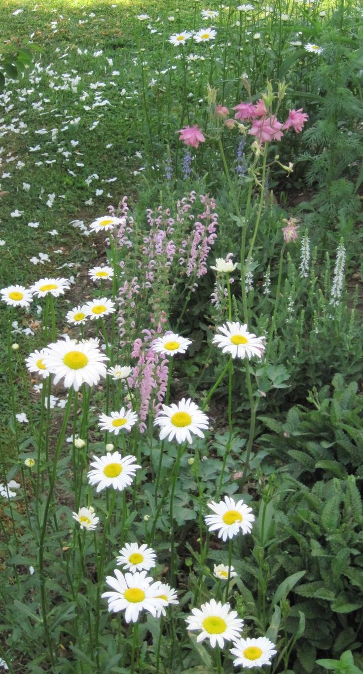 Oxeye daisies, columbine & sage