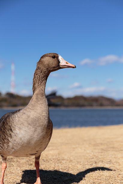 群れからはぐれたのか、 11月に1羽だけ佐鳴湖に降り立ったマガン、 今では額も白くなり、 上空を飛...