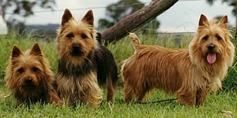 The Australian Terrier is a very unique and rare breed. Most of my dogs have been Australian Terriers and they are quite the characters. Very lovable, devoting and – just like any terrier &#8…