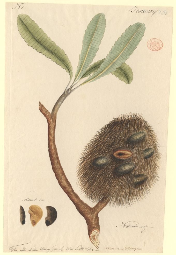 the Honey Tree of New South Wales, native name Wattang-ree