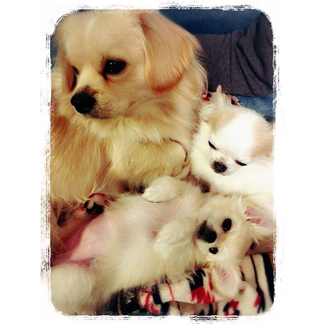 3人 仲良しこよし❤️ #ペキトイ#チワワ#ペキニーズ#ミッス犬#ペキチワ#愛犬#犬#dog#犬ばか#ペキニーズミックス#チワワミックス#ペキスタグラム#ペキチワ#locari #キナリノ#kaumo #kurashiru#ファミリー#チワニーズ#チワペキ#dogstgram#all_dog_japan#dog#Chihuahua
