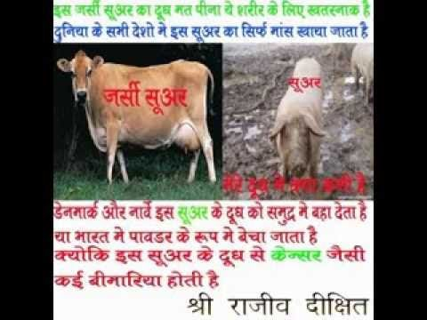 Milk Of Desi Cow Breeds Vs Foreign(Jersey and HF Cow)Breeds   Plunder Of India
