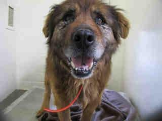 "Gardena, CA[[16 YR SENIOR ALERT]] CASH - ID#A1309662[[URGENT]] PLEDGE!!  [[SHARE]] I am described as a male, brown and tan Rottweiler 16 years old.  I have been at the shelter since Apr 30, 2013.    CASH was originally adopted from CARSON SHELTER, as a puppy, now that he is 16 years old, he's somehow has ""Strayed"" back there Let's help this boy out of there ASAP!!!!!    **5/07 VIDEO** http://s1278.photobucket.com/user/boxerrescue/medi/DSCN0960_zpsb5bd069b.mp4.html?sort=3=5"