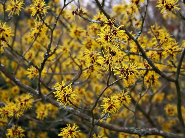 Hamamelis × intermedia 'Primavera'  Easily grown in average, medium, well-drained soils in full sun to part shade. Best flowering in full sun. Prefers moist, acidic, organically rich soils.