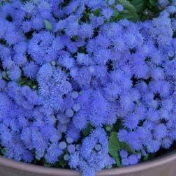 "Ageratum houstonianum 'Ocean Blue'. Height: 8"". Spread: 10"". Full sun."