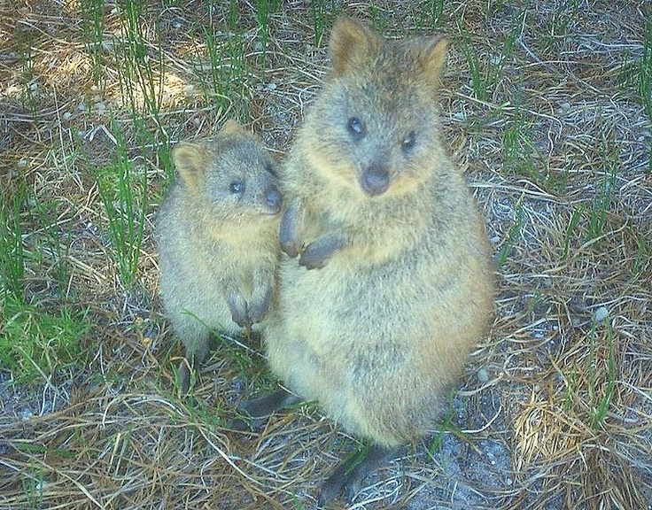 Best КВОККА Images On Pinterest Nature Beautiful And Bebe - 15 photos that prove quokkas are the happiest animals in the world