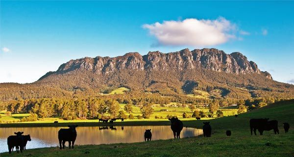 Cattle grazing on pastures in the foothills of Mount Roland ©Carol Haberle